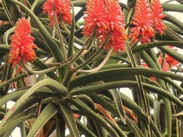 "Aloe,bainesii, SMALL 5 GALLON SIZED, PLANT,aka,""Dr Seuss Tree"",Tree,No,A... - $37.39"