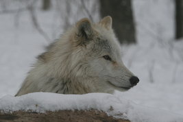 Arctic Wolf 13 x 19 Unmatted Photograph - $35.00