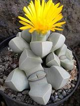 15 Seeds Karoo Rose - Lapidaria margaretae - $16.86