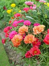 200 Seeds - Mix Moss Rose - Portulaca Grandiflora - Ground Cover - $8.45