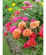 100 Seeds - Mix Moss Rose - Portulaca Grandiflora - Ground Cover - $8.45