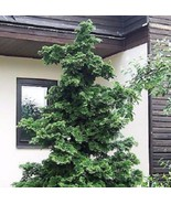 Slender Hinoki False Cypress - Live Plant - Trade Gallon Pot - $56.41