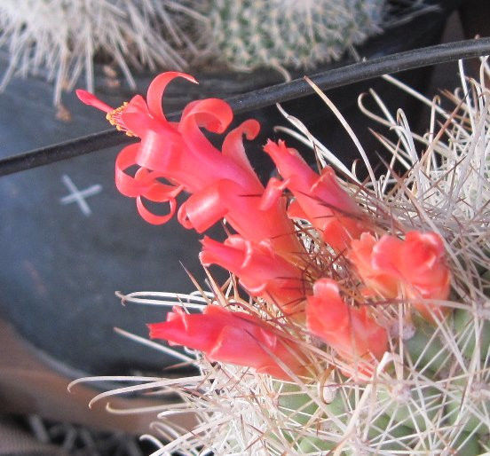 Cochemiea setispina Baja Hedgehog Red Fountain Flowers Cactus 17