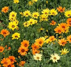 African Daisy Mix Seeds Many Sizes. 1500 seeds, or 1/8 oz - $9.04
