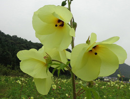 15 Abelmoschus Manihot Seed Golden Treemallow Garden Flowers Home and Ga... - $13.58