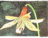 Canada lily thumb155 crop