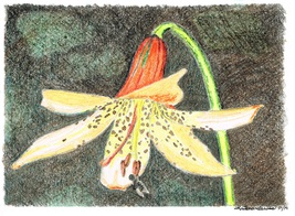 Canada Lily Print with 8x10 Black Mat Board - $23.00