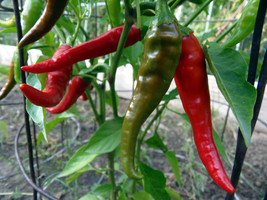 Punjab Lal - a fiery pepper and wildly productive - $3.75