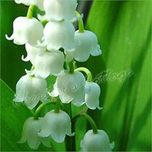 4 Convallaria Lily of the Valley Spring Garden Perennial Root White Flower Plant - $6.36+
