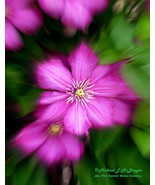 Clematis focal zoom hrw1 32x43 watermark cfz14   copy thumbtall
