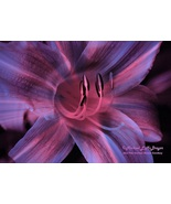 Daylily color burst hrw1 68x46 watermark dcb14   copy thumbtall