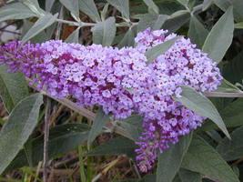 6 Variety Seeds -  Butterfly Bush Buddleia Davidii Shrub Seeds #TSP - $16.99+
