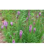 Organic Native Plant, Blazing Star, Liatris spicata, butterflies - $3.50