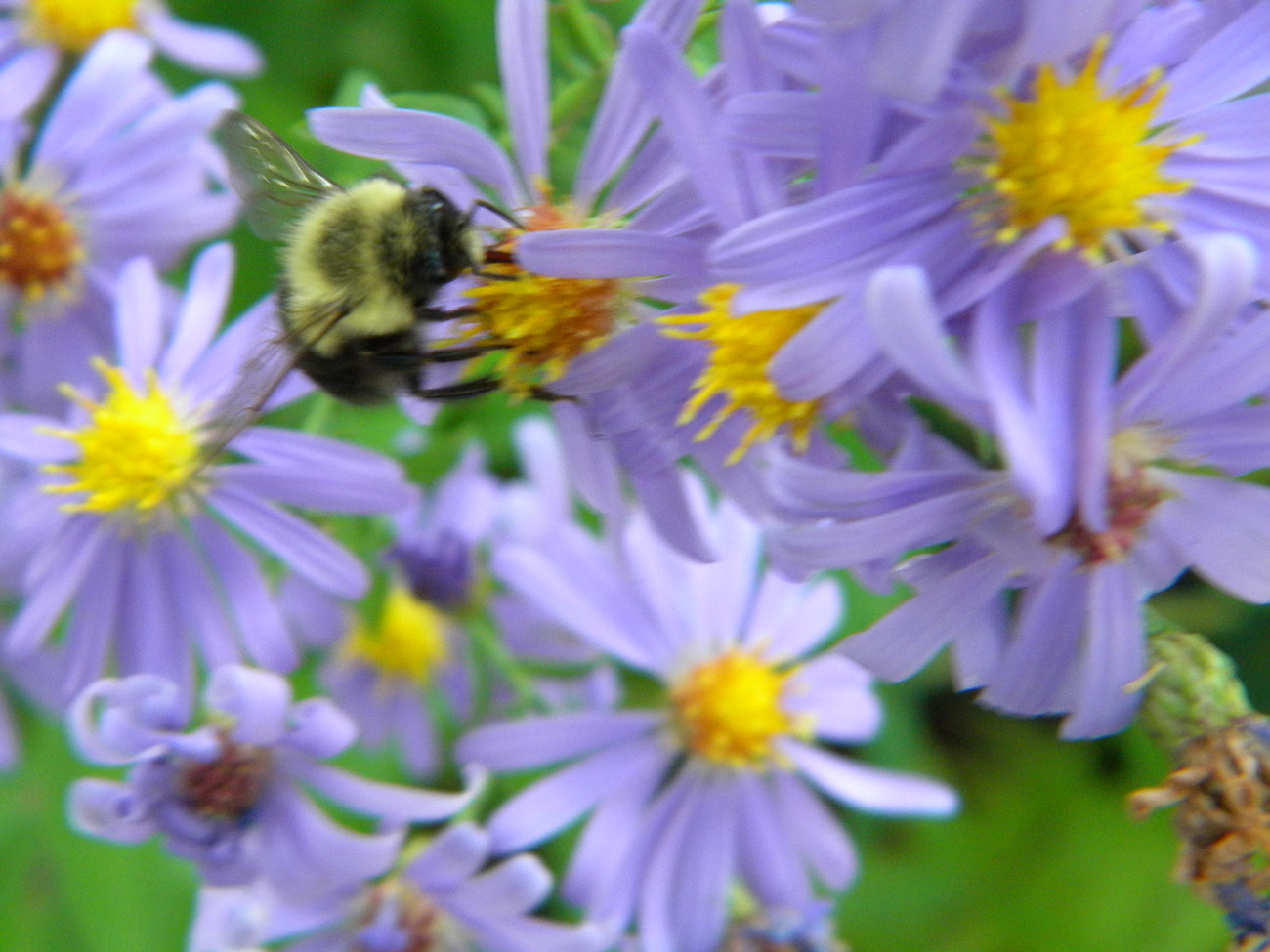 Organic Native Plant,  Smooth Blue Aster, Aster laevis, Pollinator Magnent!