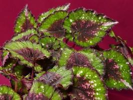 "Begonia Plant Harmony's Christmas Cheer 4"" Pot Rex Rhizomatous - $9.50"