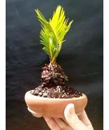 Talnoa Plant sample item