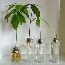 2 Organic Avocado Seeds, Non-GMO, Variety: Hass image 9