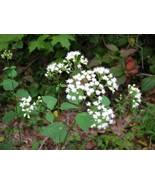 Organic Native Plant, White Snakeroot, Eupatorium rugosa - $3.50