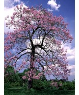 Plantsempresstree thumbtall