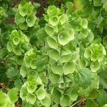 Non GMO Bulk Bells of Ireland Flower Seeds Moluccella laevis (5 Lbs) - $376.20