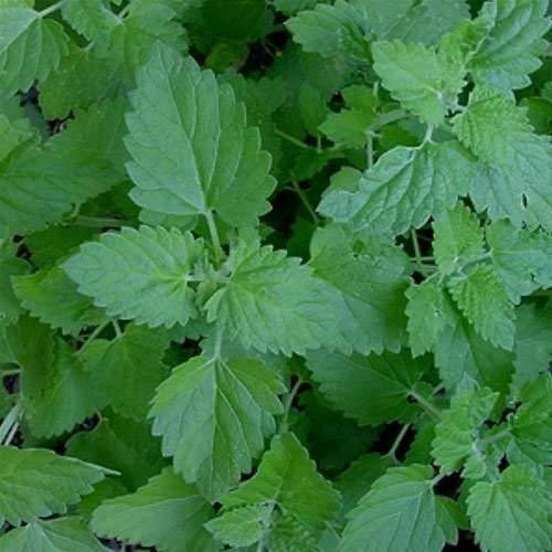 1 Packet of 400 Seeds Lemon Catnip Herb/Labiatae / Nepeta Cataria