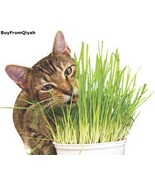 Todd's Seeds, Wheatgrass Seeds, One Pound, Cat Grass Seeds, Hard Red Whe... - $19.49