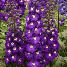 100 Purple Passion Delphinium Mix Seeds Perennial Garden Flower Bright - TTS - $23.95