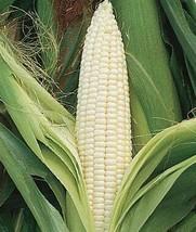 Heirloom Organic Silver Queen Sweet Corn Seeds - $4.95