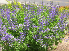 Organic Native Plant, Blue False Indigo (Baptisia australis) - $3.75