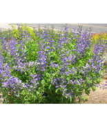 Organic Native Plant, Blue False Indigo (Baptisia australis) - $3.50