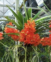HUGE Ascocentrum ampullaceum var moulmeinense Orchid Species Plant Bloom... - $80.99