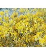 100 Pcs Seeds Chamisa Ericameria Rubber Rabbitbrush Desert Yellow Flower... - $16.00