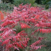 3 Rhus Glabra Cismontana Native Plants - $50.00
