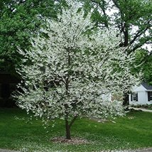 15 Seeds of Mountain Silverbell / Halesia Tetraptera - $17.82