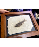 FOSSILIZED FISH IN FRAME PIRATE GOLD COINS JURASSIC TREASURES FOSSIL - $2,700.00