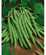 50 Burpee Stringless Bush Bean 2019 (All Non-Gmo Heirloom Vegetable Seeds!) - $15.96