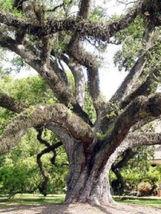Quercus virginiana Live oak florida native tree roble pre bonsai seed 100 seeds - $66.00