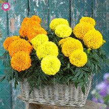 100pcs African marigold Flower Half Hardy Perennial indoor flowering yellow - $2.99