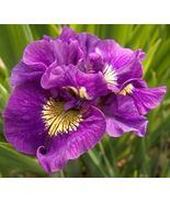 Iris sibirica 'double standard ('3 plant) bloom,early and mid-spring - $40.00