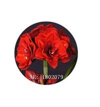 HAPPY FLOWER 2 Bulbs SAWOJAJAR True Hippeastrum Rutilum Amaryllis Love S... - $1.78
