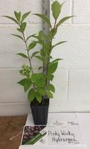 PINKY WINKY hydrangea  shrub PP#16166 image 2