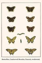 Butterflies, Camberwell Beauties, Peacock, swallowtail, by Albertus Seba - Art P - $19.99+
