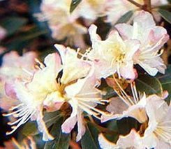 1 Starter Plant of Rhododendron 'Mary Fleming' - Rhododendron 'Mary Flemming' - $81.18