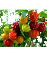 Eugenia Uniflora Seeds - besonderer und exotischer Baum - 50 Samen - $24.69