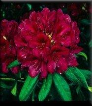 1 Starter Plant of Rhododendron 'Black Sport' - $120.78