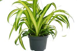 "Live Plant - Spider Plant 'Hawaiian' - 6"" Pot - Houseplant - Outdoor Living - $70.99"