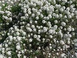 500 Alyssum (White) Seeds - $5.94
