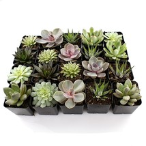"2"" Succulent Mixed Varieties Flat of 10  - £18.66 GBP"