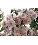 20 ENGLISH HAWTHORN TREE Edible Fruit Flower Mayflower Crataegus Laeviga... - $14.00