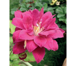 CLEMATIS Red Star 200  seeds - $26.99